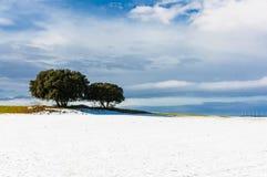 在雪原的圣栎 免版税库存照片
