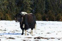 在雪原的牦牛 免版税库存图片