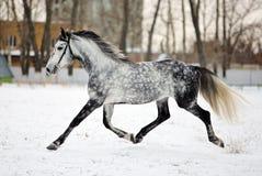 在雪原的起斑纹灰色阿拉伯马 免版税库存照片