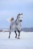 在雪原的阿拉伯灰色马奔跑 免版税库存照片