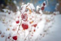 在雪原的读的叶子在11月 库存照片