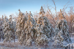 在雪和冰盖的赤松森林 图库摄影