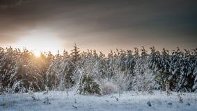 在雪和冰3盖的红色别针森林 免版税图库摄影