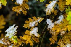 在雪和叶子盖的树在冬天 库存图片