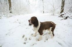 在雪和树盖的走在球木头, Hertford荒地的小径和一个英国斯伯林格西班牙猎狗的冬天场面 库存照片