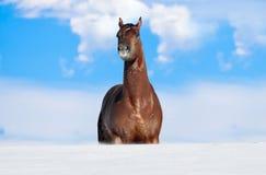 在雪困住的马 库存照片