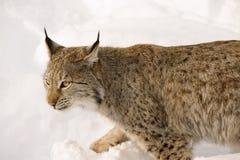 在雪在冷的冬天,特罗姆斯县,挪威的欧亚天猫座 库存照片