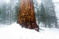 在雪埋没的大美国加州红杉树树干  免版税图库摄影