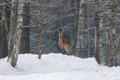 在雪小山的优美的成年女性雷德迪尔 与鹿鹿Elaphus的欧洲野生生物风景 孤独的鹿画象  免版税库存照片