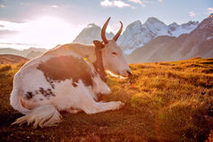在雪山前面的一头牦牛 免版税图库摄影