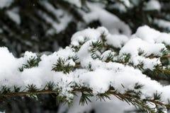 在雪报道的冬天常青分支 免版税库存图片