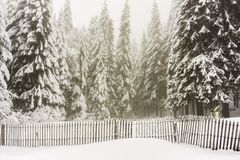 在雪报道的冷杉森林冬天风景-孚日省,法国 图库摄影