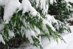 在雪报道的常青分支 库存照片