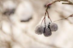 在雪报道的3个莓果垂悬 库存照片