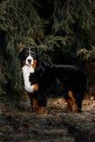 在雪春天森林的伯尔尼的山狗逗留 库存图片
