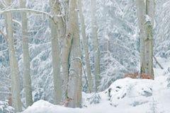 在雪森林欧亚天猫座的天猫座在冬天 从捷克自然的野生生物场面 斯诺伊猫在自然栖所 有年轻人的, wi母亲 图库摄影