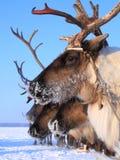 在雪橇的驯鹿特写镜头在一冬天` s天 免版税库存图片