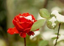 在雪特写镜头的红色玫瑰 选择聚焦 免版税库存照片