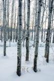 在雪白冬天场面的白杨木 库存照片