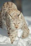 在雪的一个欧亚天猫座 库存图片
