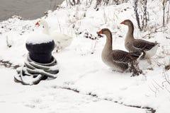 在雪的一些只鹅在江边 免版税库存照片