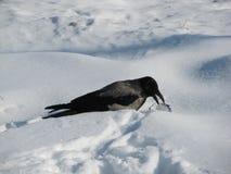 在雪的一只乌鸦和哺养在食品废弃部 免版税图库摄影