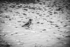 在雪的一只乌鸦 库存图片