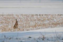 在雪的一只兔子 图库摄影