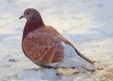 在雪的一只棕色鸽子 库存照片