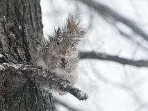 在雪的一只灰鼠 免版税库存图片