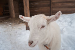 在雪的一只白色山羊下午站立 库存图片