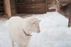 在雪的一只白色山羊下午站立 免版税库存图片