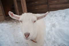 在雪的一只白色山羊下午站立 图库摄影