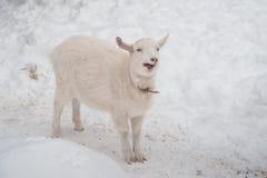 在雪的一只白色山羊下午站立 库存照片