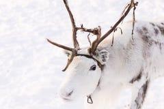 在雪的一头白色驯鹿 免版税库存图片