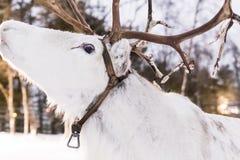 在雪的一头白色驯鹿 库存照片