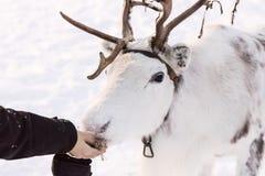 在雪的一头白色驯鹿 库存图片