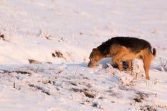 在雪的一条狗,嗅在地面上 免版税库存图片