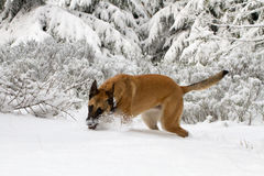 在雪的一条狗 库存照片