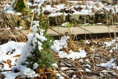 在雪的一棵小绿色圣诞树在公园 唤醒在冬天冬眠以后的自然 免版税库存照片