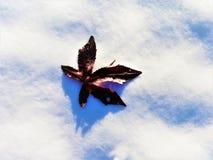 在雪的一片枫叶 免版税图库摄影