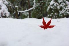 在雪的一片红槭叶子在晚秋天 免版税库存照片