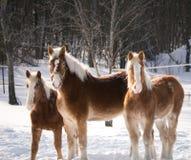 在雪的三匹马 图库摄影