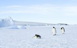 在雪的三只皇企鹅 库存图片