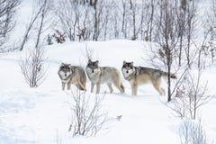 在雪的三头狼 库存图片