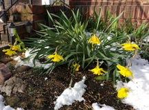 在雪的下垂的黄水仙 免版税库存图片