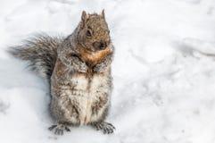 在雪的东北灰色灰鼠 库存图片