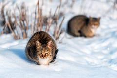 在雪的两只灰色猫 免版税库存照片