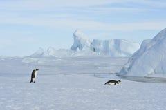 在雪的两只皇企鹅 库存照片