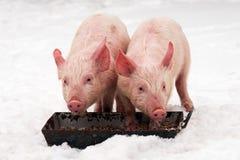 在雪的两头猪 免版税库存照片